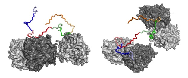 The image here is from a paper that was published in PNAS last fall. It shows tau binding to two soluble tubulin dimers, and is based on our single molecule FRET measurements. It highlights how tau retains a primarily disordered state while binding and initiating tubulin polymerization.